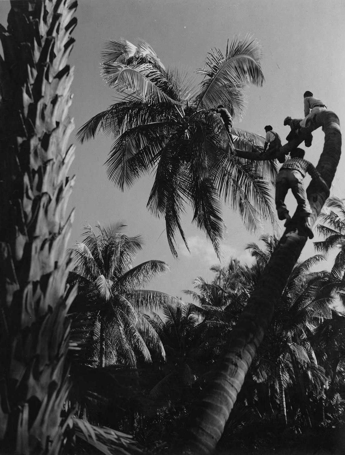 Black and white developed photo of coconut farmers climbing up trees.