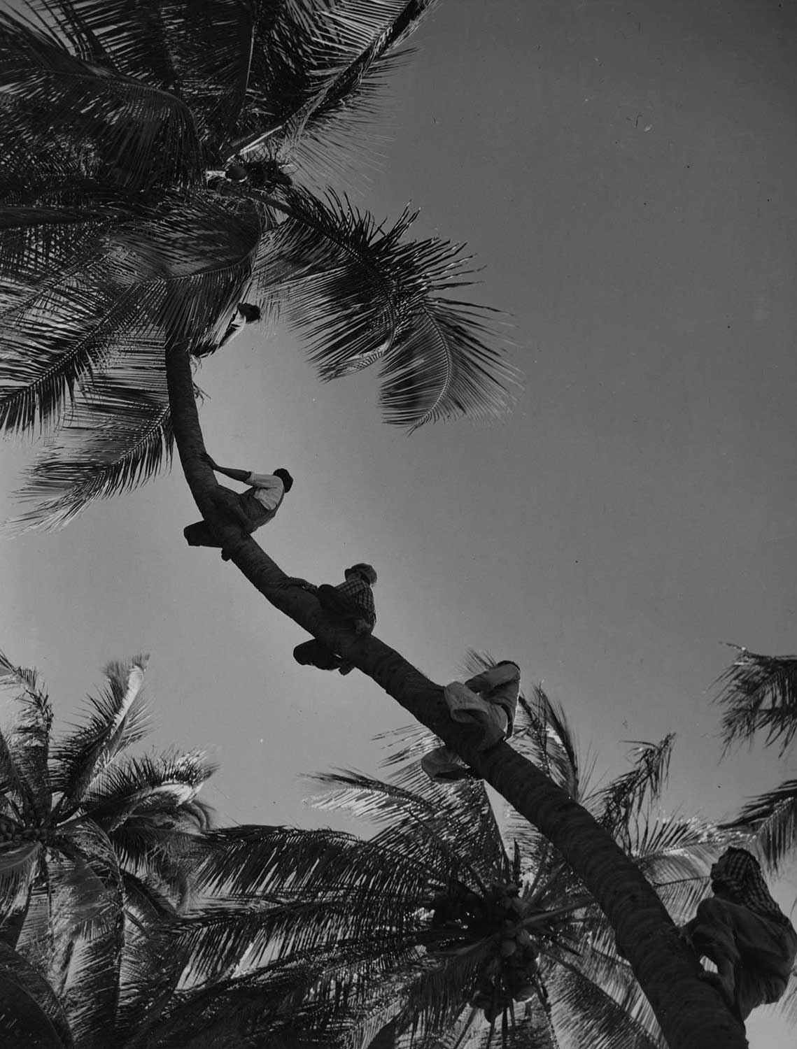 Black and white developed photo multiple coconut farmers climbing a tree.