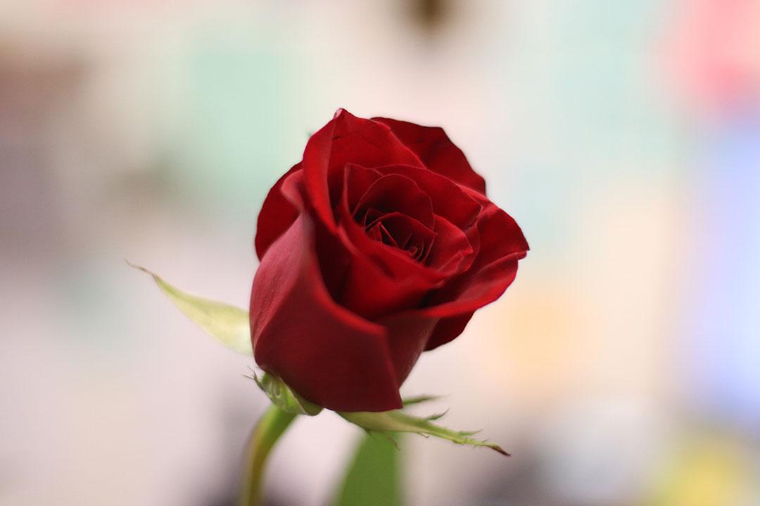 Rose, red, single and green HD photo by Katrina Berban (@kattrinnaaaaa) on Unsplash