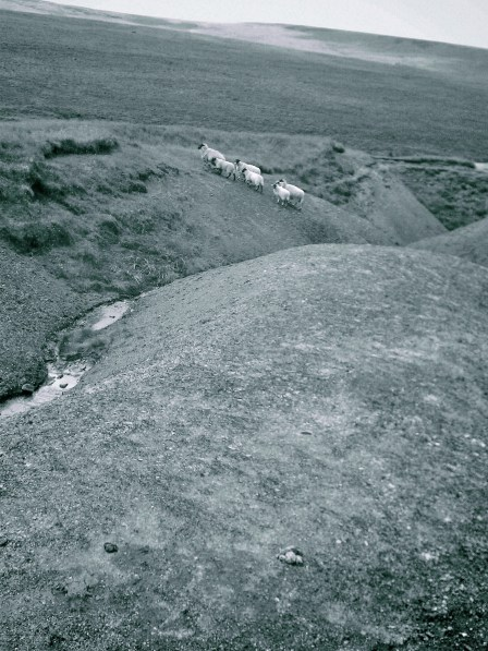 Sheep on a Fossil bed