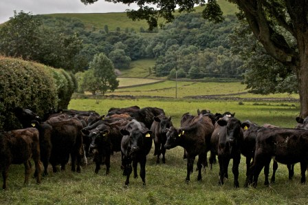 Calves in Castleton