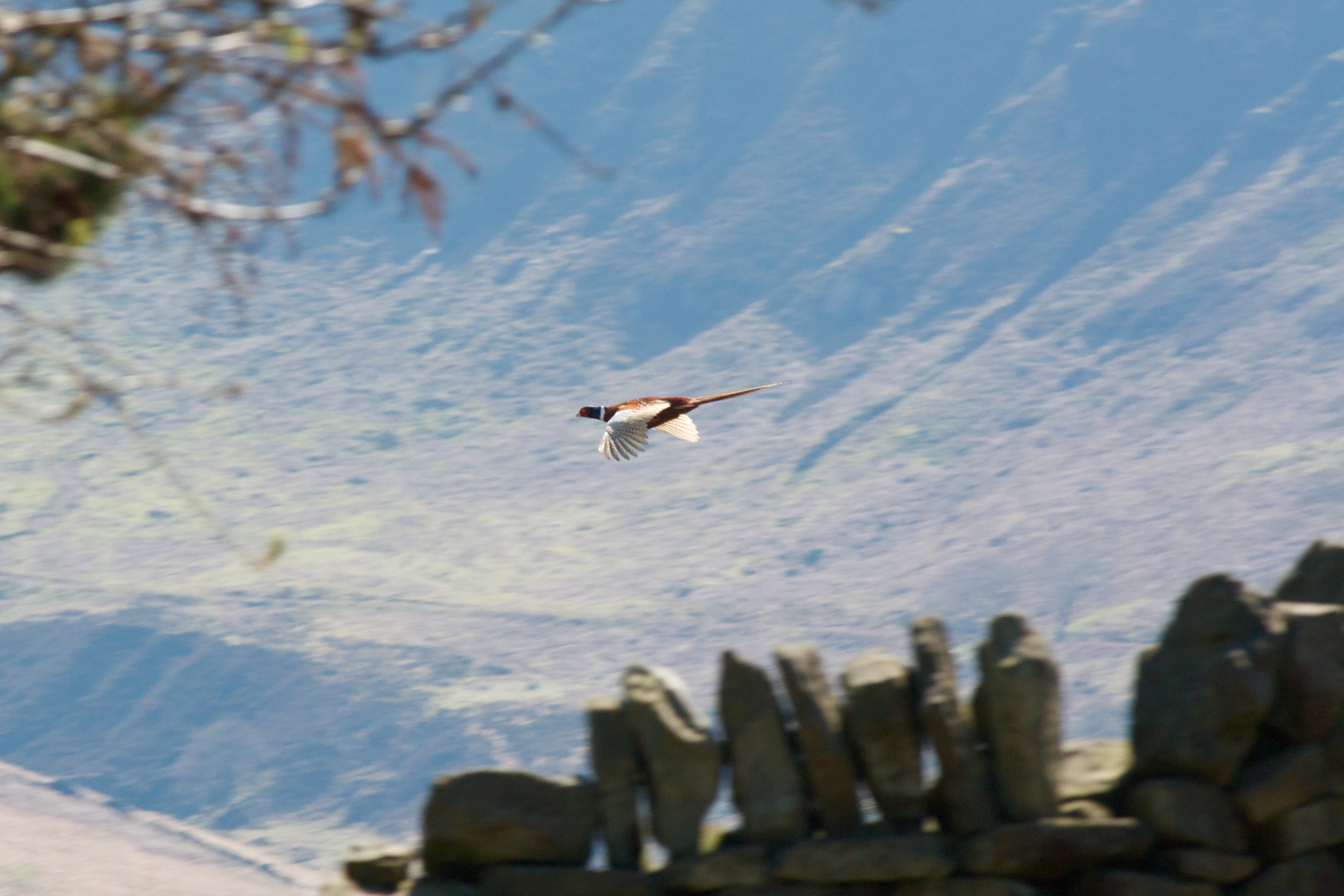 Pheasant on Kinder Scout