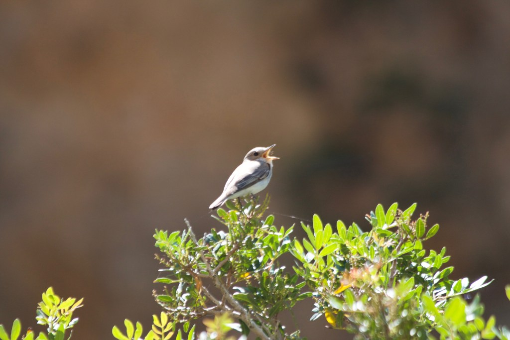Gr221 wild bird on hike trail Mallorca