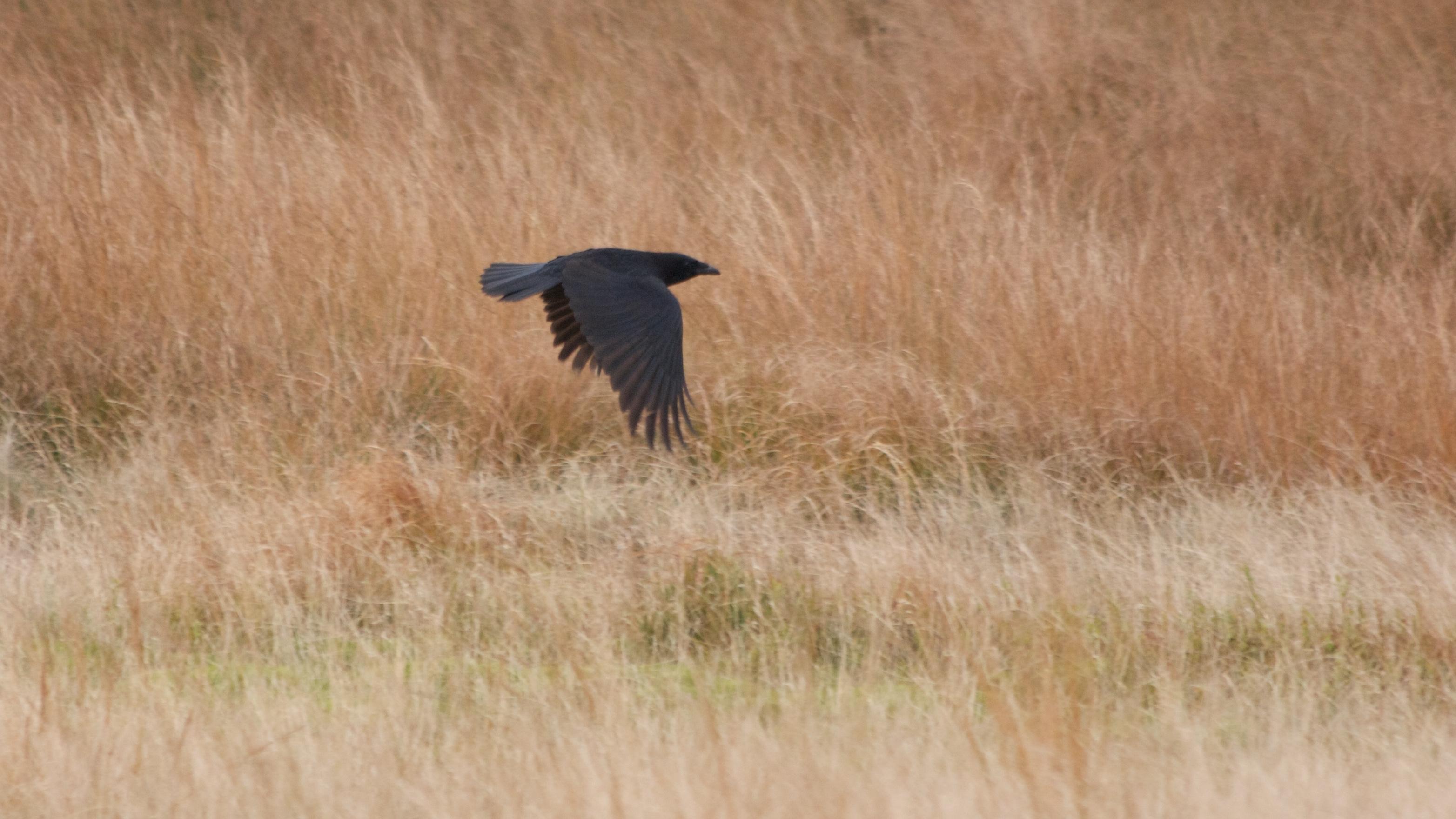 Carrion Crow on Marsden Moor near Pule Hill