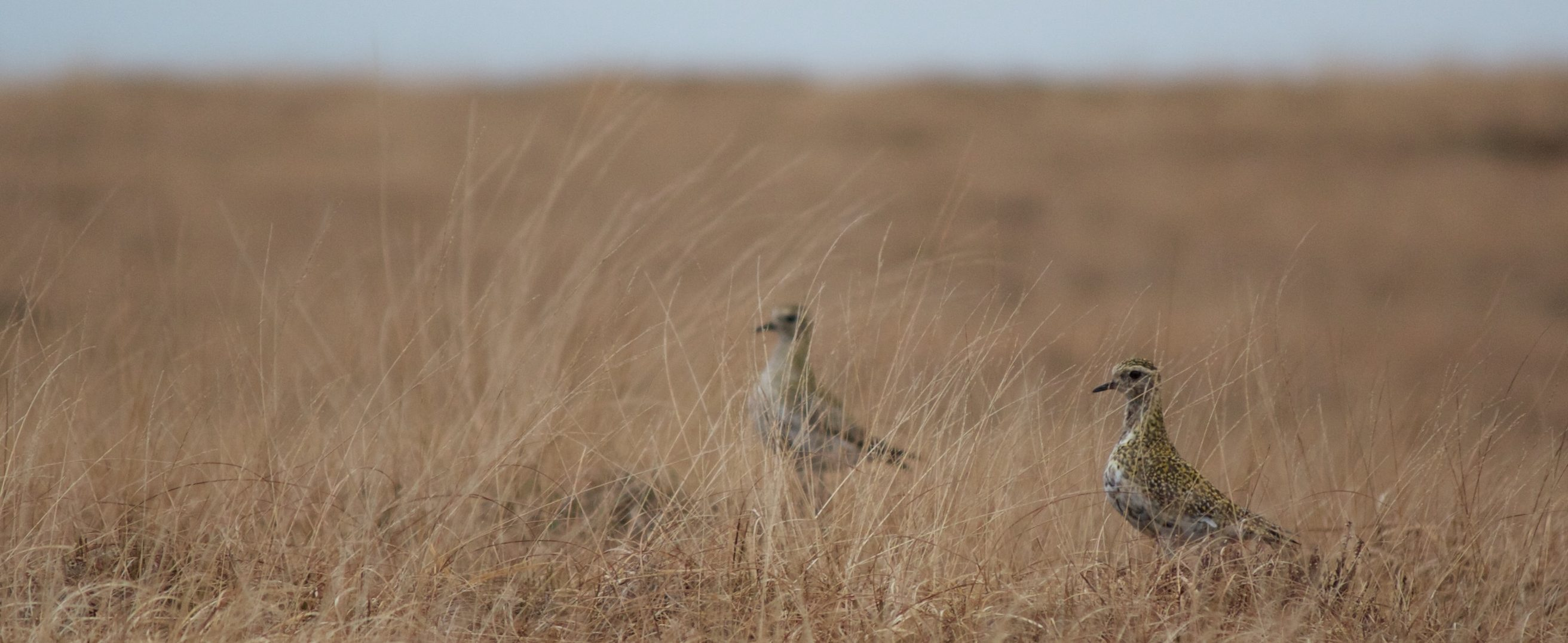 Golden Plover on Marsden Moor