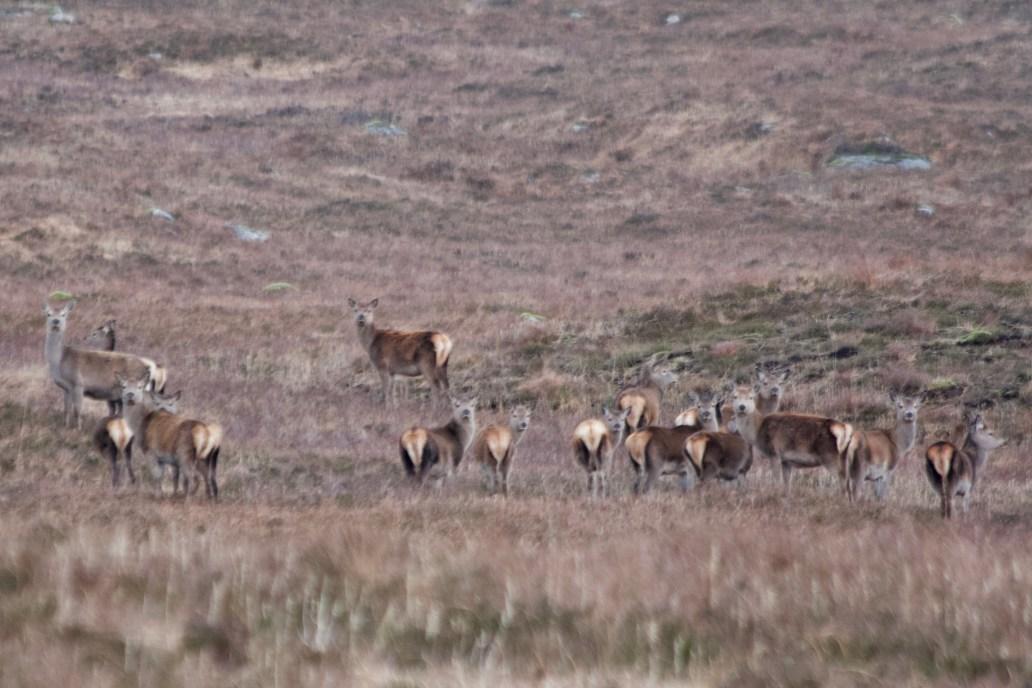 Glen Coe West Highland Way walk red deer