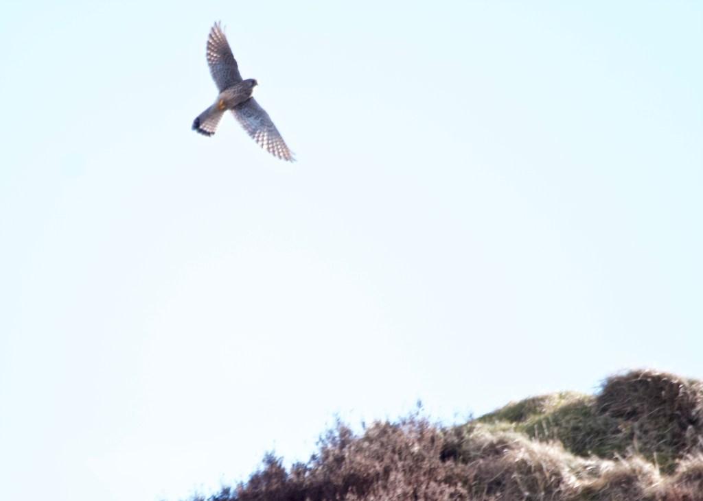 Kestrel Scout Quarry Marsden Moor
