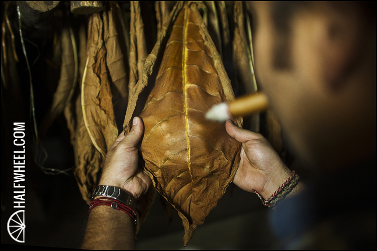 Nestor Andrés Plasencia inspects a tobacco leaf in a curing barn.