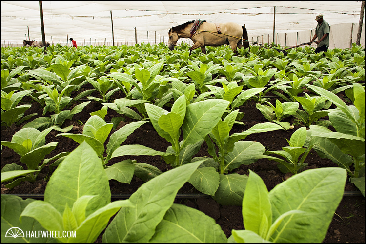 Workers till the soil between tobacco plants using horses and hoes.