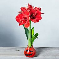 563750_a_halloween-amaryllis-bulb-563750