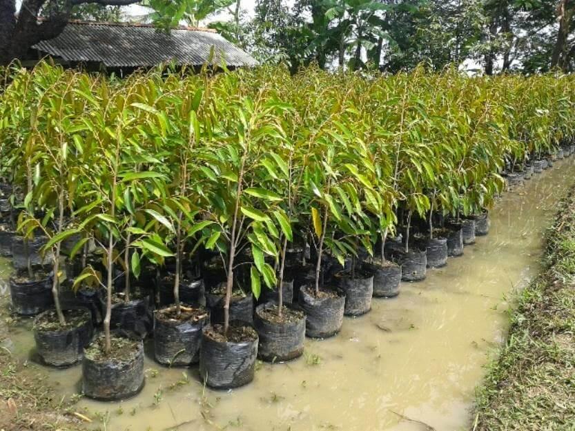 Jual Bibit Durian Super