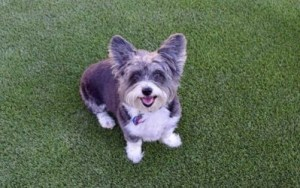 Synthetic grass pet turf