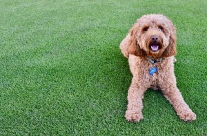 dog safe synthetic grass