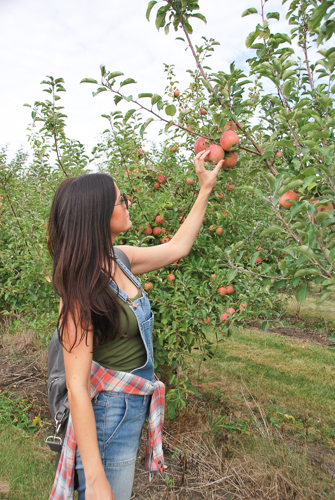 honey crisp apple picking
