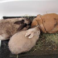Rabbit grooming.
