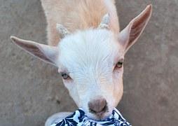 goat-574171__180