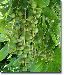 macadamia-nuts-on-a-tree