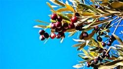 olives-257928__180