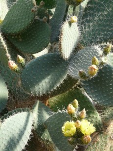 prickly-pear-7421_960_720