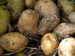 rotting-potatoes-185928__180