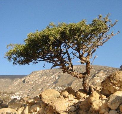 myrrh-tree