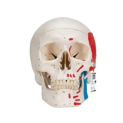 Classic Human Skull Model painted, 3 part - 3B Smart Anatomy