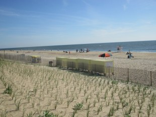 rebuilding dune grass