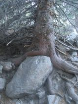 roots around a rock