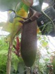 huge pitcher plant