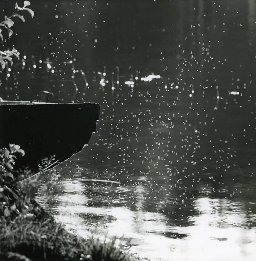 Till vänster syns aktern av en roddbåt, en eka. Över vattnet, till höger om båten svävar en svärm av små insekter, luften är full av dem. Insekterna blir belysta av solen, solstrålarna ligger lågt och solen ger blanka reflexer i vattnet. Inga människor syns på bilden, bara naturen och en träbåt.