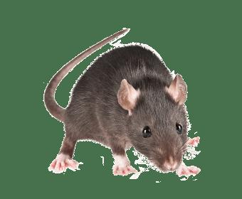 Rat-noir-conseil-hygiene-solution