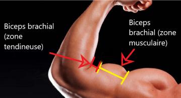description anatomique d'un biceps court