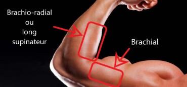 Description de l'anatomie des bras