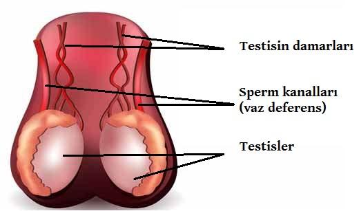 tesitisin kan damarları ve sperm kanalları