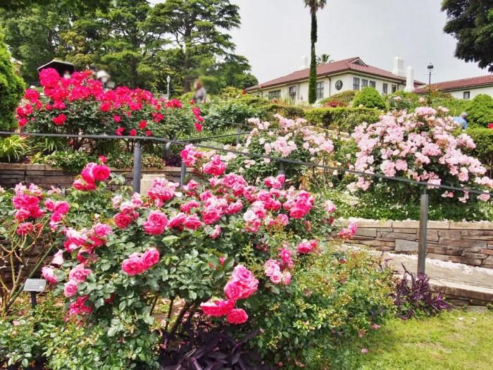 港の見える丘公園のバラ