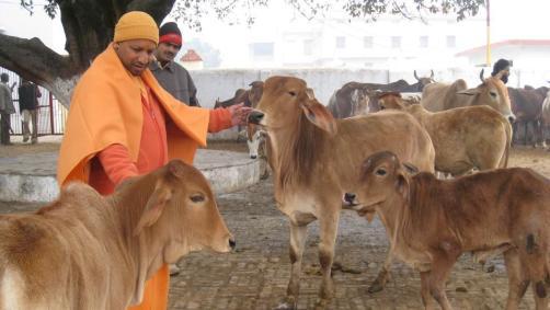 before-pradesh-becoming-gaushala-adityanath-feeding-gorakhpur_d2543fec-0edd-11e7-be49-55692bf38950