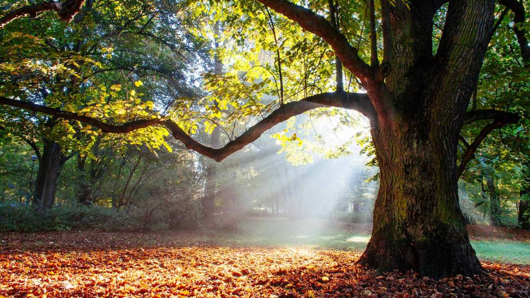 sunlight streaming through a strong oak tree