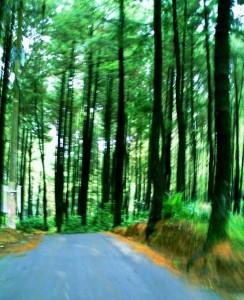 Hutan-Pinus-Gunung-Pancar-244x300