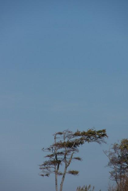 Windflüchter - Darß Weststrand 2