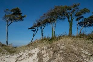Windflüchter - Darß Weststrand