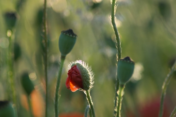 Red poppy to flower out