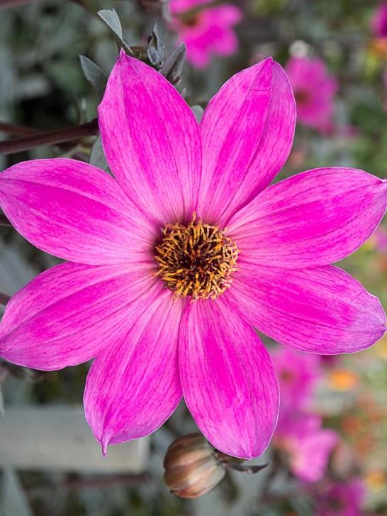 Purple Dahlia 4