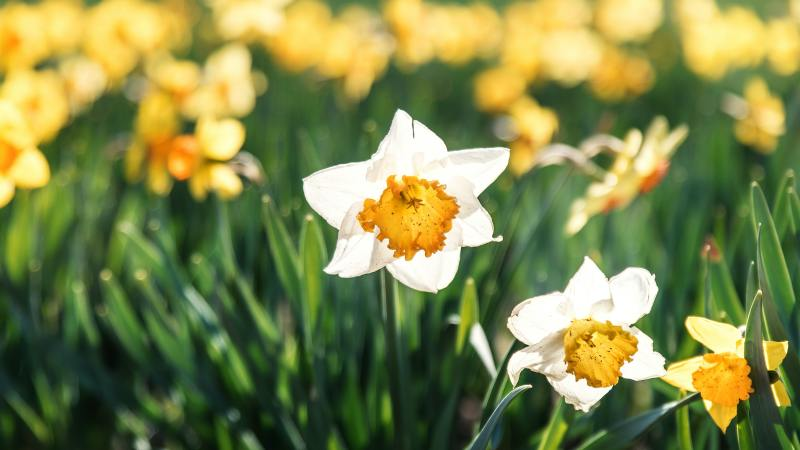 The American Pastors Network for CNSNews.com: Tender Daffodils Remind that Even When Our Protections Are Taken Away, We Can Still Bloom