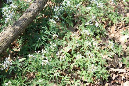 Sweet Woodruff in Crerar forest.