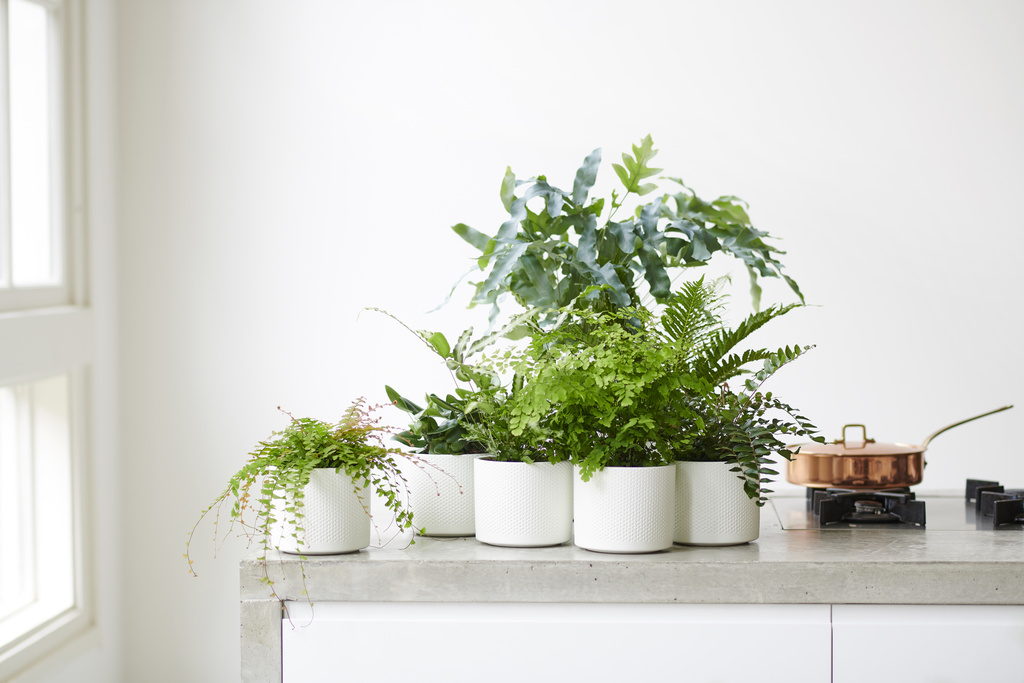 Ferns: Houseplant of the Month for February