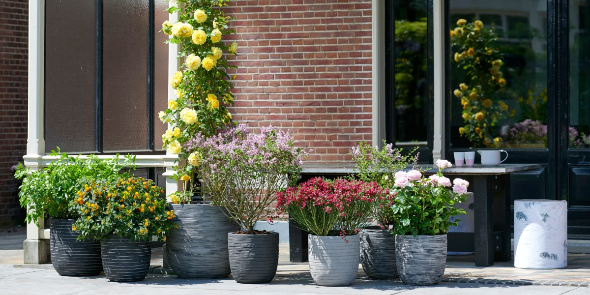 Fragrant Feature Plants: Garden Plants of the Month for May