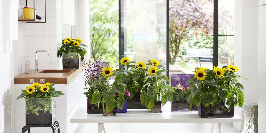 Sunflower: Houseplant of the Month for June