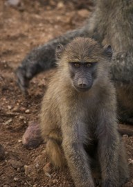 What annoying baboon start out as