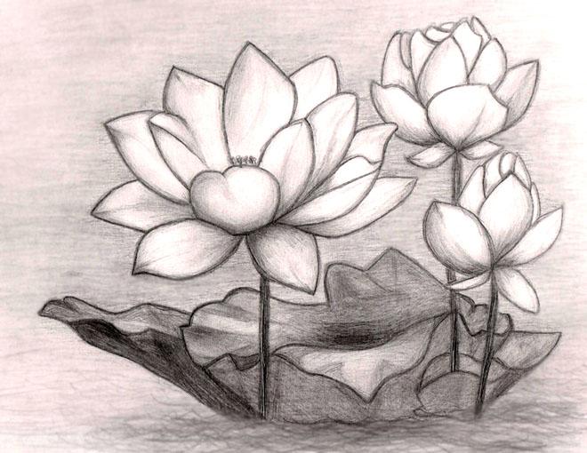 Gambar Sketsa Bunga Teratai