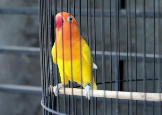 cara merawat lovebird